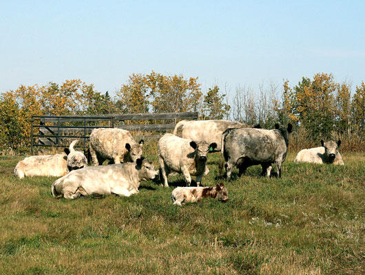 Canadian Galloway Cattle